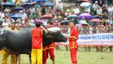 Lịch sử và ý nghĩa của lễ hội chọi trâu Đồ Sơn